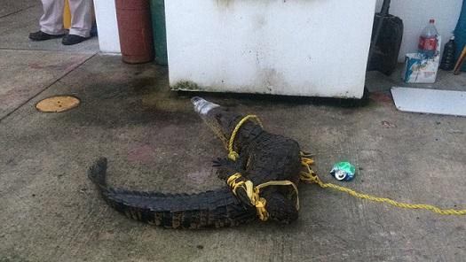 Encuentran lagarto en instalaciones de PMV