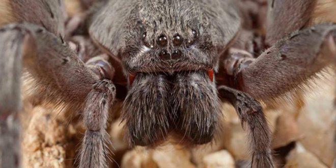 ¡Descubren nueva, espeluznante y gigantesca especie de araña en México!
